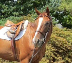 Oscar – Thoroughbred Gelding