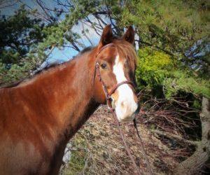 Prince – Welsh Pony Gelding