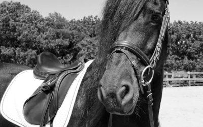 Haddy – Friesian mare