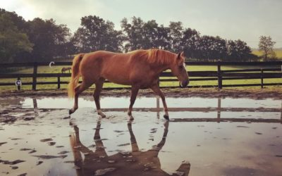 Tucker – draft cross gelding