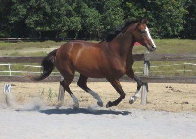bay-dressage-jumper-horse