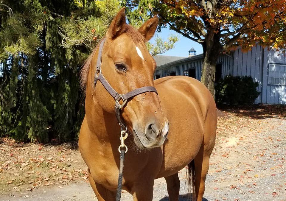 Dusty – quarter horse gelding