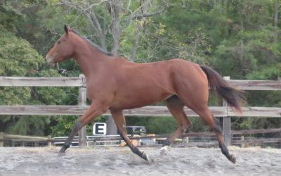Bea – thoroughbred mare
