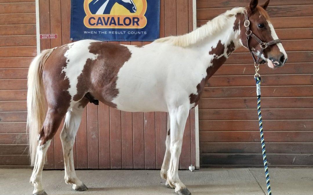 Poptart – paint pony gelding