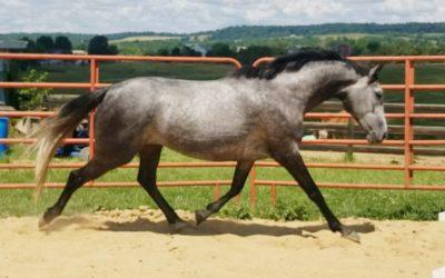 Miss Demeanor IHF – Oldenburg mare